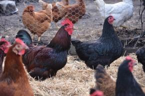 brown chickens black chickens lucerne hay organic chicken