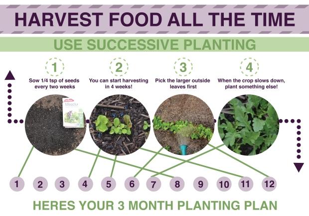 MPBY Successive planting infographic