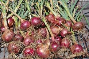 how to grow organic onions red onions organic gardening red onions spanish onions homesteading