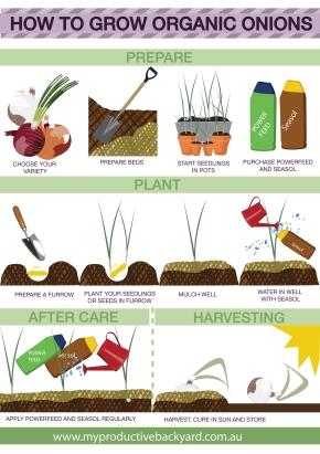 my productive backyard how to grow organic onions infographic organic gardening grow onions grow eschalots grow shallots