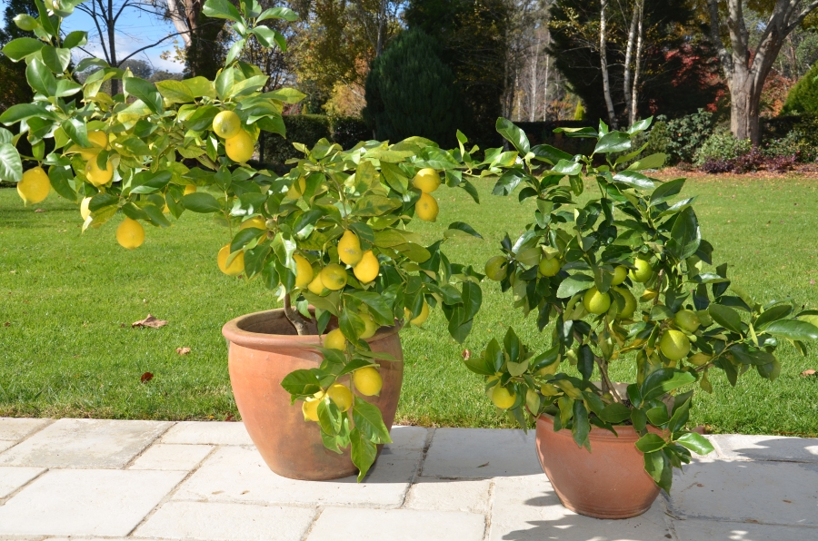 citrus in pots 2