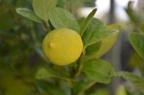 citrus tree lemon tree lemon close up how to grow citrus in pots how to grow lemon in a pot container gardening