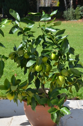 eureka lemon in pot growing citrus in pots lime in pot tahitian growing citrus in pots lime in pots organic gardening citrus maintenance southern highlands