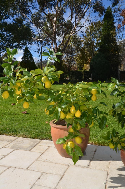 eureka lemon in pot