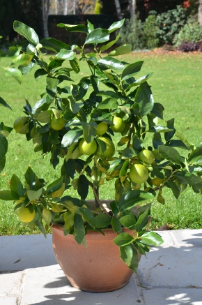lime in pot tahitian growing citrus in pots lime in pots organic gardening citrus maintenance southern highlands