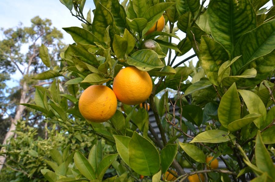 orange tree grow citrus plant in pots