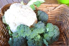 broccoli and cauliflower organic out of garden veggie gratin au gratin steaming cauliflower preserving cauliflower freezing cauliflower
