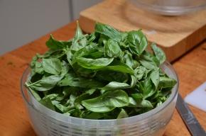fresh organic basil leaves growing basil plants summer herbs and vegetables
