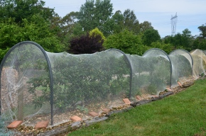 protecting your apple crop espaliered apples netting apples how to net apples how to protect apples from birds growing apples pest control fruit trees mpby myproductivebackyard my productive backyard kathy finigan nsw southern highlands