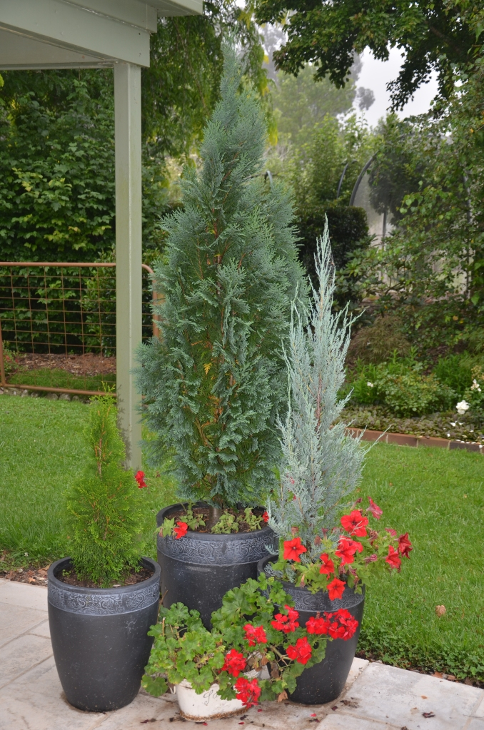 Conifer make great Christmas trees