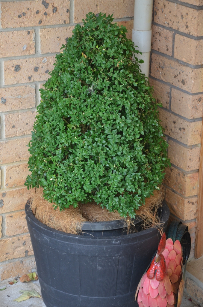 A shaped Buxus makes a great Christmas tree