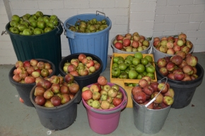 apples in buckets from a small space small orchard espalier trees granny smith pink lady harvest your own apples