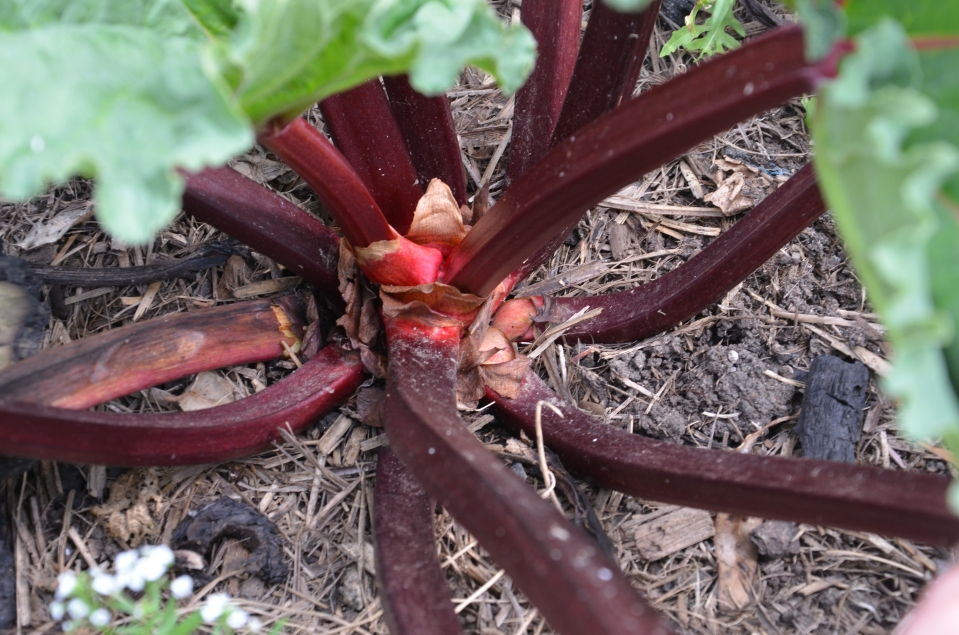 The wonderful ruby red stems of Rhubarb