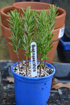 Semi hardwood cuttings of rosemary seedlings potting how to grow your own herbs from cuttings