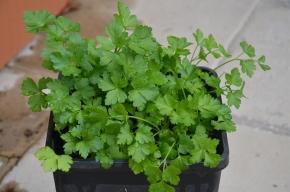 how to grow herbs from seed parsley seedlings grow your own parsley herb seedlings gardening