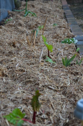how to divide your rhubarb plant to make more plants and seedlings plant into garden bed with sugarcane mulch