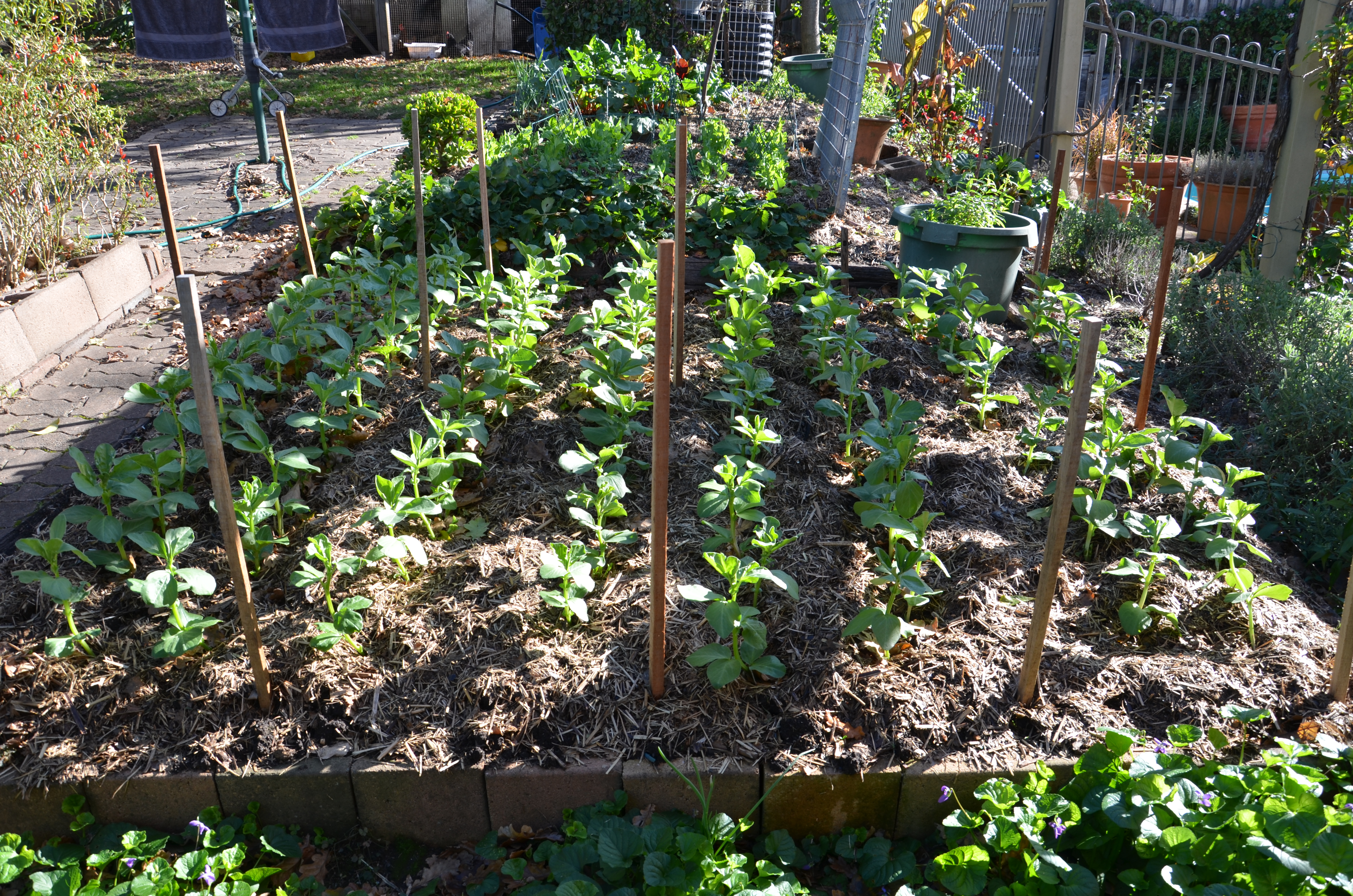broad beans no dig garden beans growing broad beans gardening in my garden bean