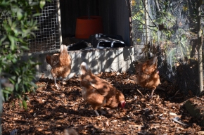 chickens chicken coop chook pen chooks hens isa browns chook run mulch chook litter mulch fertilizer