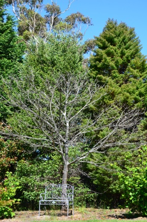 my-dead-chestnut-tree